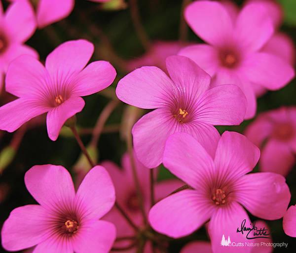Pretty Pink Phlox Art Print