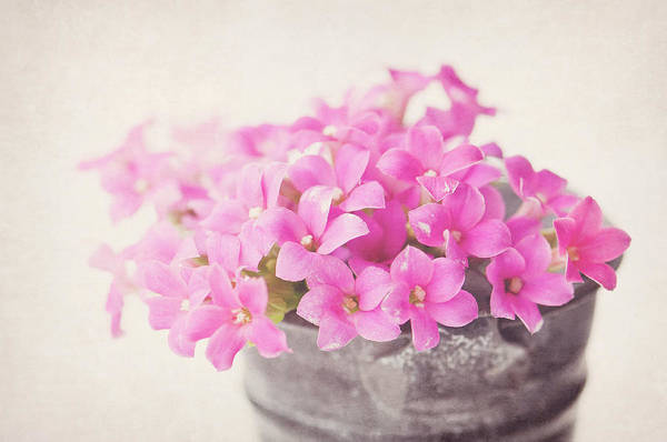 Metal Bucket Photograph - Pretty Pink by Skcphotography