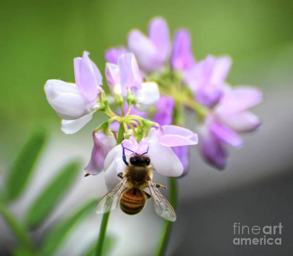 Photograph - Pretty Pollinator - Bee In The Crown Vetch by Kerri Farley