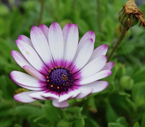 Photograph - Pretty Purple Tips by Lynda Anne Williams