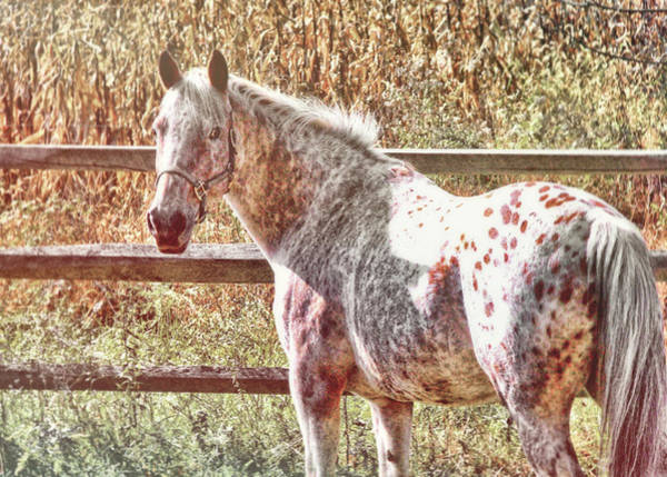 Photograph - Pretty Spotted Appaloosa by JAMART Photography
