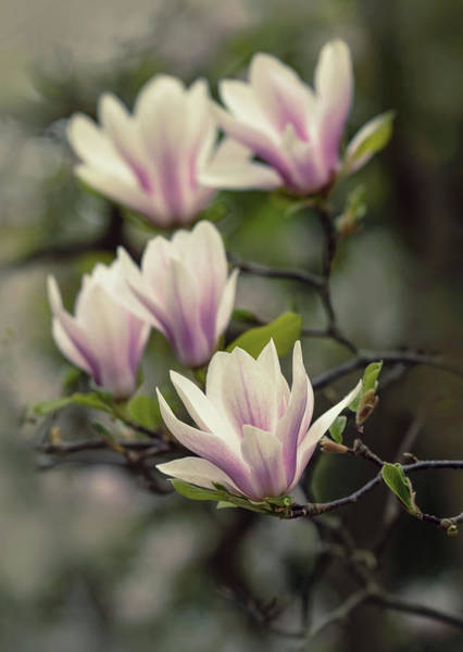 Photograph - Pretty White And Pink Magnolia by Jaroslaw Blaminsky