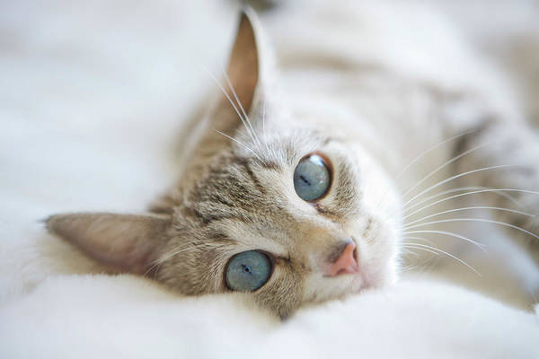Curiosity Photograph - Pretty White Cat With Blue Eyes Laying by Marcy Maloy