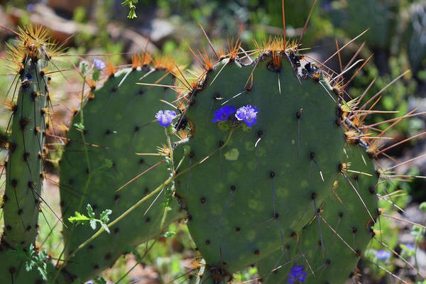Photograph - Prickly Pear And Flower by Chance Kafka