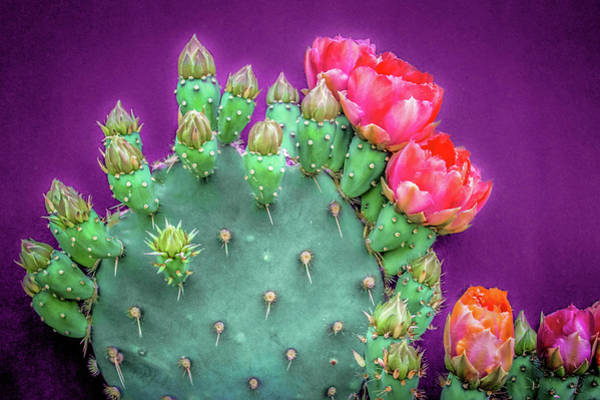 Photograph - Prickly Pear Buds And Blooms 2 by Veronika Countryman