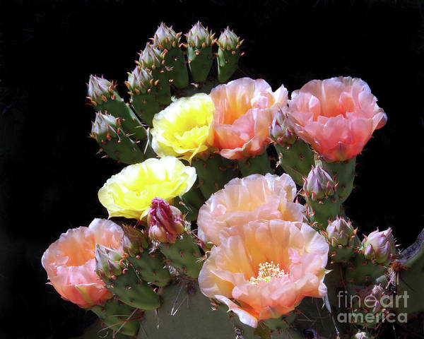 Wall Art - Photograph - Prickly Pear Cactus Flowers - Yesterday And Today by Douglas Taylor