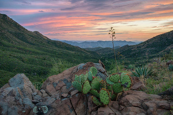 Photograph - Prickly Pear Cactus In Gila County Arizona by Dave Dilli