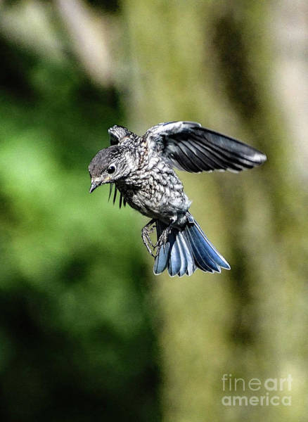 Wall Art - Photograph - Prince Charming Coming In For A Landing - Eastern Bluebird by Cindy Treger