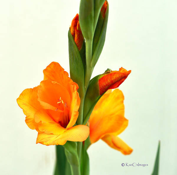 Photograph - Prince Of Orange Gladiolus by Kae Cheatham