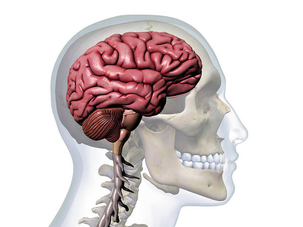 Wall Art - Photograph - Profile Of Man With X-ray Skull, Brain by Hank Grebe