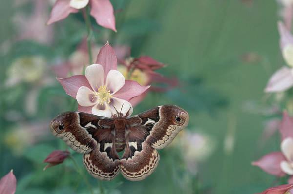 Photograph - Promethea Moth On Columbine Flower by Michael Lustbader