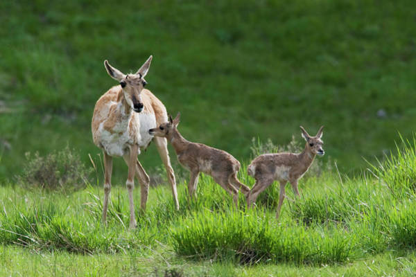 Wall Art - Photograph - Pronghorn Antelope Doe With Twin by Ken Archer