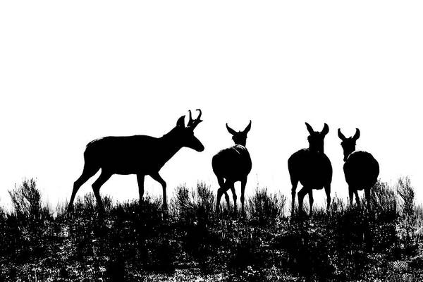 Wall Art - Photograph - Pronghorn Antelope Silhouettes by Jennie Marie Schell