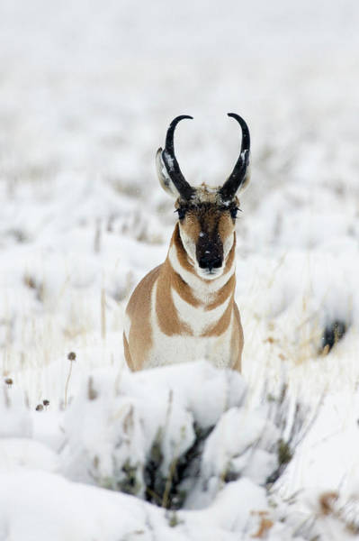Wall Art - Photograph - Pronghorn Antelopein Heavy Snow by Ken Archer