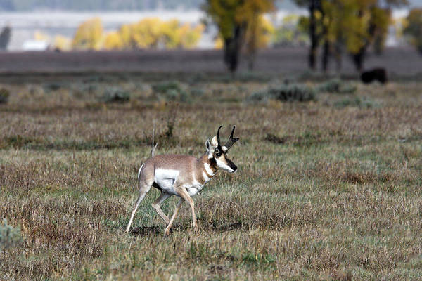 Photograph - Pronghorn In Fall by Ronnie and Frances Howard