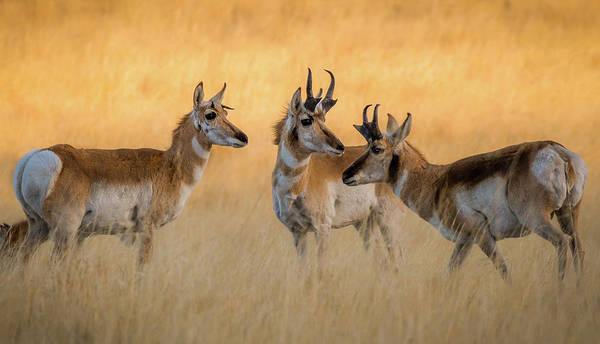 Pronghorn Morning Meeting Art Print