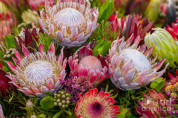 Single Flower Photograph - Protea by Cuson