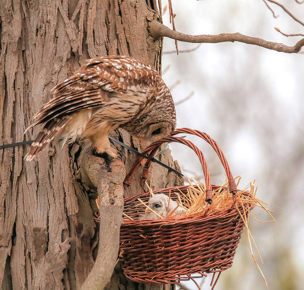 Photograph - Protective Barred Owl Mom by Dan Sproul