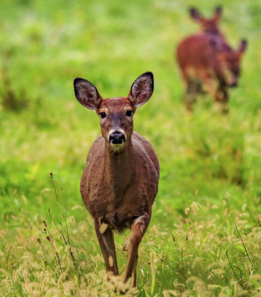 Wall Art - Photograph - Protective Mother Deer by Dan Sproul