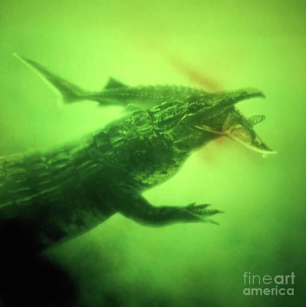 Photograph - Proterosuchus Capturing A Fish by Warren Photographic
