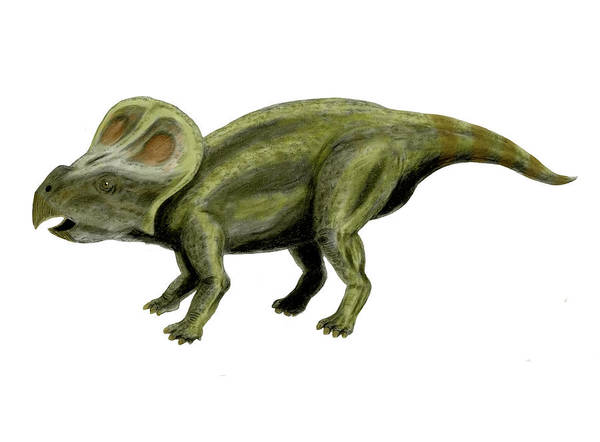 Photograph - Protoceratops Andrewsi Dinosaur, White by Nobumichi Tamura
