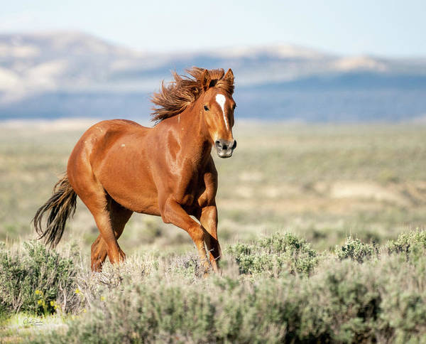 Photograph - Proud And Free - Wild Mustang Horse by Judi Dressler