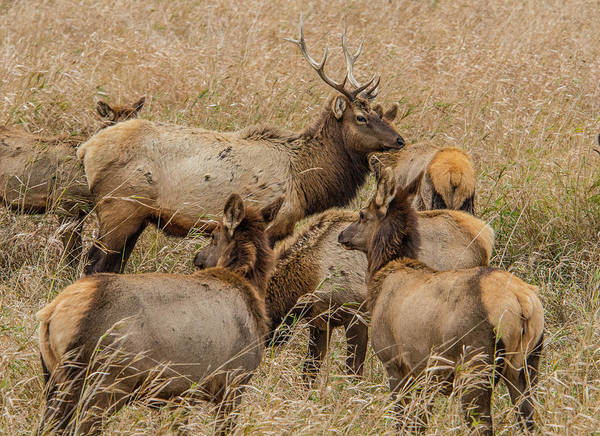 Photograph - Proud Bull Elk by Matthew Irvin