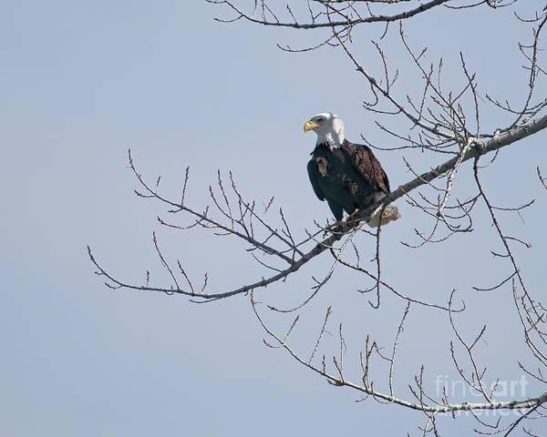 Photograph - Proud Eagle by Jon Burch Photography