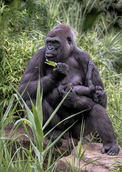 Photograph - Proud Mama Silverback 6243 by Donald Brown