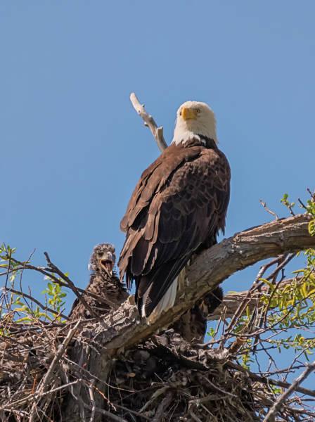 Photograph - Proud Papa Eagle by Loree Johnson
