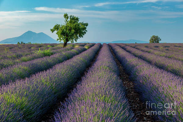 Photograph - Provencal Lavender Field by Brian Jannsen