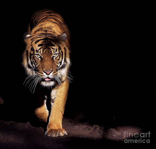 Big Cat Wall Art - Photograph - Prowling Tiger by Luke Wait
