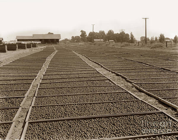Photograph - Prune Drying, Visalia, California by California Views Archives Mr Pat Hathaway Archives