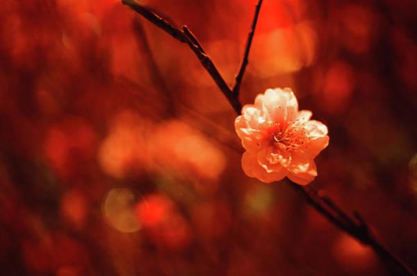 Chinese New Year Photograph - Prunus Mume by By Noircorner (jacqueline Kwok)