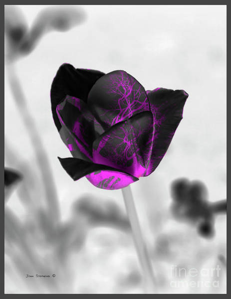 Wall Art - Photograph - Psychedelic Tulip Pink Black by John Stephens