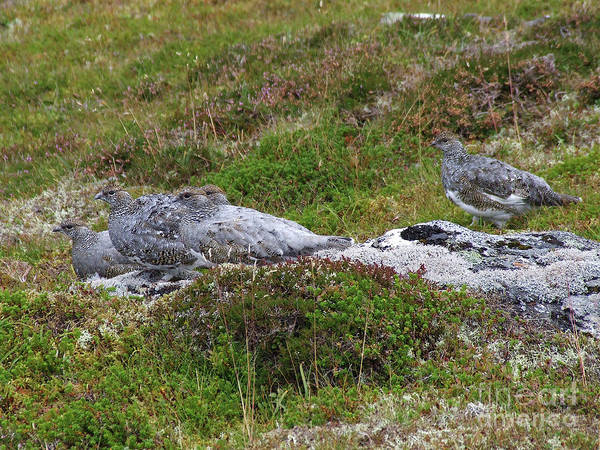 Photograph - Ptarmigan - Masters Of Camouflage by Phil Banks