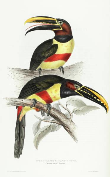 Ornithologist Wall Art - Painting - Pteroglossus Castinotus by John Gould