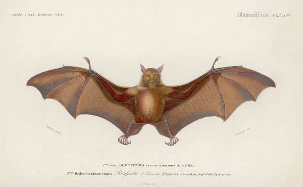 Mammal Digital Art - Pteropus Edwardsii by Hulton Archive