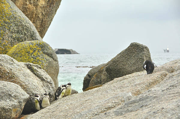 Photograph - Pudgy Penguins by JAMART Photography