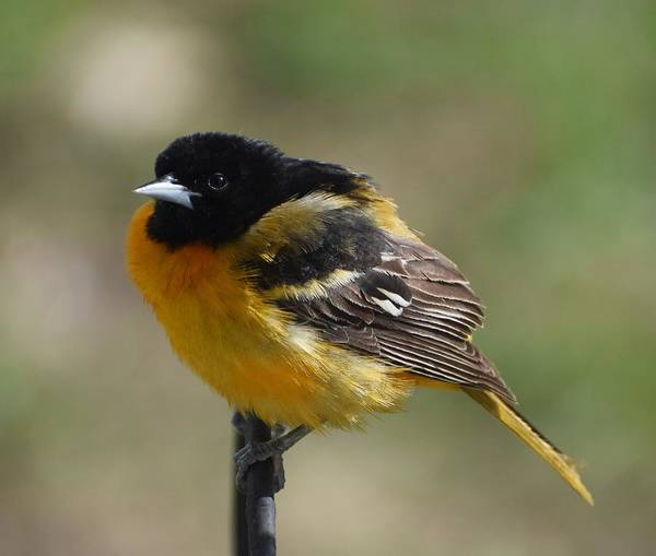 Baltimore Oriole Wall Art - Photograph - Puff Daddy by Amber Foote