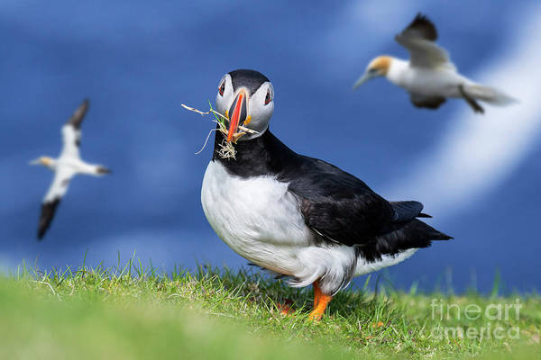 Photograph - Puffin And Gannets by Arterra Picture Library