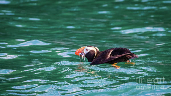 Photograph - Puffin Fishing In Resurrection Bay, Alaska by Lyl Dil Creations
