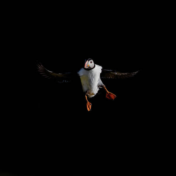 Photograph - Puffin Flying On Black by Peter Walkden
