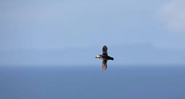 Photograph - Puffin Flying Over Sea by Peter Walkden
