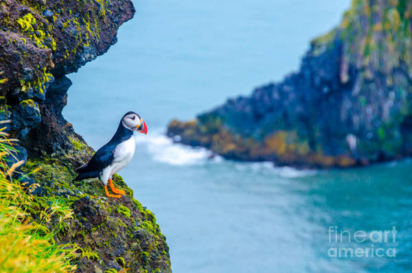 Puffin - Iceland Art Print