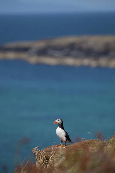 Photograph - Puffin On Lunga by Peter Walkden