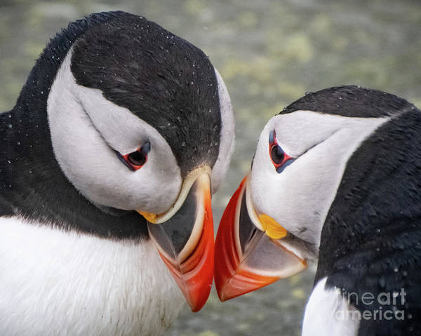 Wall Art - Photograph - Puffin Pair by Amy Porter
