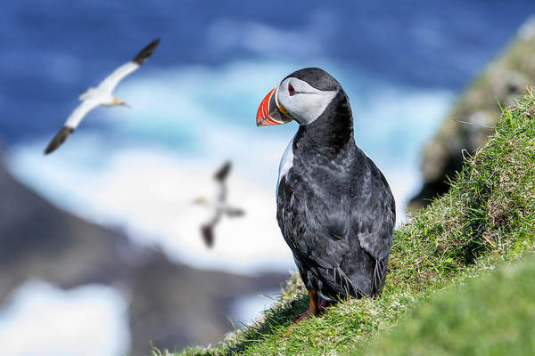 Photograph - Puffin Watching Gannets by Arterra Picture Library