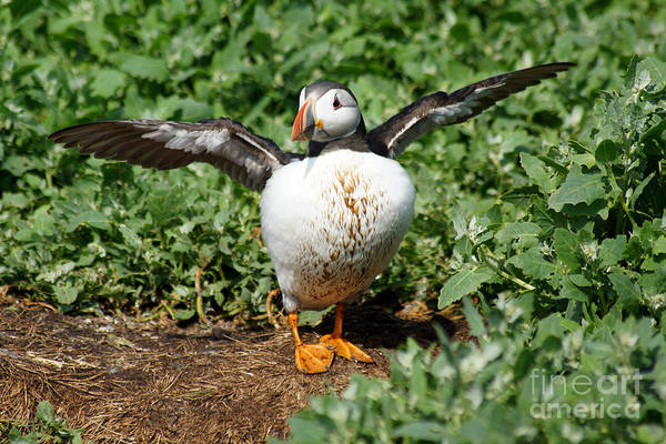Photograph - Puffin With Wings Outstretched. by David Birchall
