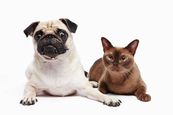 Lap Dog Photograph - Pug And Burmese Cat by Ultra.f